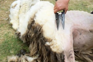 drug problem in the shearing industry